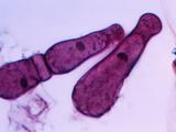 Gregarine Parasitic Protozoa, LM X100 Photographic Print by Arthur Siegelman