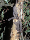 Leadbeater's Possum (Gymnopbelideus Leadbeateri), an Endangered Species, Victoria, Australia Photographic Print by Dave Watts