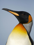 King Penguin Head (Aptenodytes Patagonicus) Photographic Print by Solvin Zankl