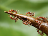 Thorns on a Swollen Thorn Acacia House the Ants' Larvae are Heavily Guarded Photographic Print by Alex Wild