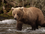 Grizzly Bear (Ursus Arctos) Fishing for Salmon in a Stream, Alaska, USA Photographic Print by Dave Watts