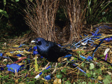 Satin Bowerbird (Ptilonorhynchus Violaceus), Male at Bower, Victoria, Australia Photographic Print by Dave Watts
