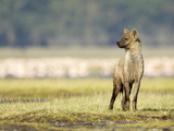 Spotted Hyena Juvenile (Crocuta Crocuta), Kenya Photographic Print by Arthur Morris