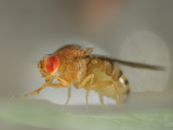 Wild Type Fruit Fly (Drosophila Melanogaster) Photographic Print by Solvin Zankl