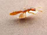 Dracula Ant (Adetomyrma) Worker Carrying Larvae, Captive, Madagascar Photographic Print by Alex Wild