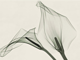 X-Ray of Calla Lily Flowers Photographic Print by George Taylor
