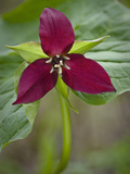 Red Trillium (Trillium Erectum), Vermont, USA Photographic Print by Gustav Verderber