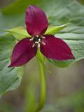 Red Trillium (Trillium Erectum), Vermont, USA Photographic Print by Gustav Verderber