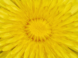 Dandelion (Taraxacum Officinale) Photographic Print by Solvin Zankl