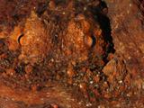 Common Octopus Eyes (Octopus Vulgaris) Mediterranean Sea, San Pietro Island, Sardinia Fotoprint van Solvin Zankl