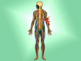 Illustration of the Nervous System in the Human Body with Elbow Pain Indicated Photographic Print by Carol & Mike Werner