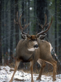 Male Mule Deer (Odocoileus Hemionus) Alberta, Canada Photographic Print by Tom Walker