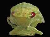 Red-Eye Leafhopper Head (Gyponana), Order Hemiptera, Family Cicadellidae Lmina fotogrfica por David Wrobel