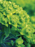 Flowering Spurge (Euphorbia Palustris) Photographic Print by Phillip Smith