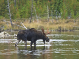 Male Moose (Alces Alces) Drinking Water, Baxter State Park, Millinocket, Maine, USA Photographic Print by Gustav Verderber