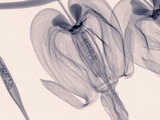 X-Ray of Bleeding Heart Flowers Photographic Print by George Taylor
