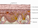 Labeled Illustration of a Cross Section of Human Epidermis Photographic Print by Carol & Mike Werner