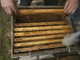 An Opened Honey Bee Hive Seen from Above with Smoke from a Smoker Device to Quiet the Bees Photographic Print by Eric Tourneret