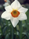 Narcissus Flower, Flower Record Variety Photographic Print by Phillip Smith