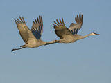 Sandhill Cranes in Flight (Grus Canadensis), Bosque Del Apache, New Mexico, USA Photographic Print by Tom Walker