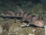 Whitespotted Bamboo Shark (Chiloscyllium Plagiosum), Indo-Pacific Region Photographic Print by Andy Murch