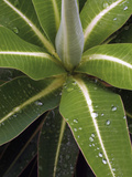 Raindrops on Spurge Leaves (Euphorbia Stygiana) Photographic Print by Phillip Smith