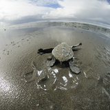An Olive Ridley Sea Turtle Hatchling (Lepidochelys Olivacea) on its Way to the Sea Fotoprint van Solvin Zankl