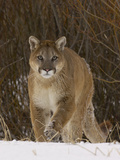Cougar (Felis Concolor) Walking in Snow, Montana, USA Photographic Print by Dave Watts