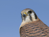 Female American Kestrel (Falco Sparverius), San Juan Mountains, New Mexico Photographic Print by Tom Walker