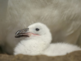 Black-Browed Albatross Chick in the Nest (Diomedea Melanophris), Falkland Islands Photographic Print by Solvin Zankl