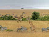Masai Giraffes (Giraffa Camelopardalis Tippelskirchi) and Burchells Zebra (Equus Burchelli), Kenya Photographic Print by Gustav Verderber