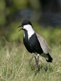 Spur-Winged Plover (Vanellus Spinosus), Kenya Photographic Print by Arthur Morris