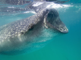 Whale Shark (Rhincodon Typus) Feeding in the Plankton Rich Waters around Holbox Island, Mexico Photographic Print by Andy Murch