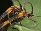 Banded Net-Wing Beetles Mating (Calopteron Reticulatum), Family Lycidae, New Hampshire, USA Photographic Print by David Wrobel