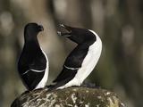 Razorbills (Alca Torda), Iceland Reproduction photographique par Arthur Morris