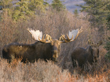 Bull and Cow Moose in Rut in the Autumn Boreal Forest, (Alces Alces), Alaska, USA Photographic Print by Tom Walker