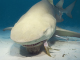 Lemon Shark (Negaprion Brevirostris) Eating a Fish, Tiger Beach Photographic Print by Andy Murch