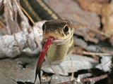 Garter Snake Head Showing the Forked Tongue Extended (Thamnophis Sirtalis) Photographic Print by David Wrobel
