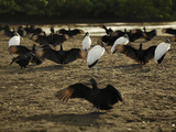 Black Vultures and Wood Storks (Waiting for Olive Ridley Sea Turtle Hatchlings to Emerge Photographie par Solvin Zankl