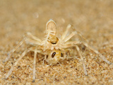 Spider with Prey, Namib Desert, Namibia, Note The Protective Coloration of Both Animals Photographic Print by Solvin Zankl