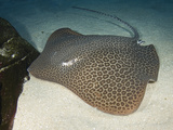 Leopard Whipray (Himantura Undulata), a Large Indo-Pacific Stingray Photographic Print by Andy Murch