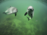 Harbor Porpoises (Phocoena Phocoena) Swimming, Fjord and Baelt, Denmark Photographic Print by Solvin Zankl