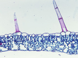 Cross-Section of a Foxglove Leaf with Trichomes (Digitalis), LM X55 Photographic Print by  Biodisc
