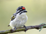 Red-Fronted Tinkerbird (Pogoniulus Pusillus), Kenya Photographic Print by Arthur Morris