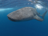 Whale Shark (Rhincodon Typus), Gulf of Mexico, Louisiana, USA Photographic Print by Andy Murch