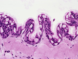 Leopard Frog Tongue Epithelial Surface Section (Rana Pipiens), H&E Stain, LM X100 Photographic Print by Gladden Willis