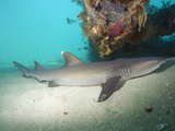 Whitetip Reef Shark (Triaenodon Obesus) Resting by Day under the Exmouth Navy Pier Photographic Print by Andy Murch