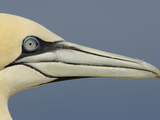 Close Up of the Head of a Northern Gannet, Scotland, UK Photographic Print by Solvin Zankl
