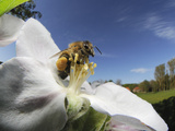Honey Bee (Apis Mellifera) Collecting Pollen from the Flower of an Apple Tree Photographic Print by Solvin Zankl