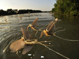 Male Long-Tailed Mayflies Hatch the First Females Appear on the Water Surface Photographic Print by Solvin Zankle